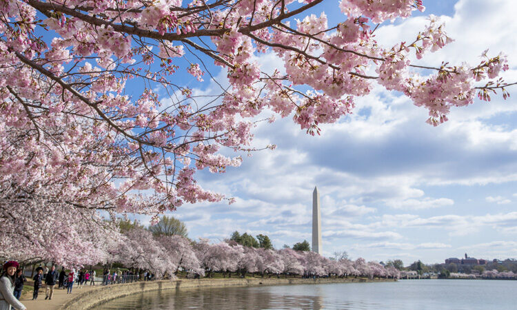 Washington Cherry Blossoms Symbolize Enduring U.S.-Japan Ties